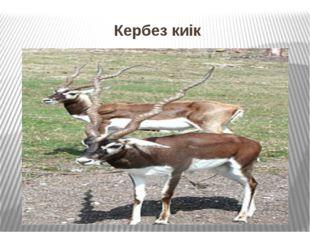 Кербез киік Кербез киік Кербезкиікеркектері