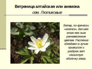 Ветреница алтайская или анемона сем. Лютиковые Ветер, по-гречески «anemos», д