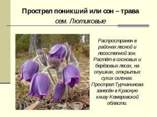 Прострел поникший или сон – трава сем. Лютиковые Распространен в районах лесн