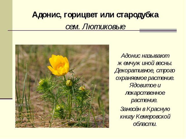 Адонис, горицвет или стародубка сем. Лютиковые Адонис называют жемчужиной вес...