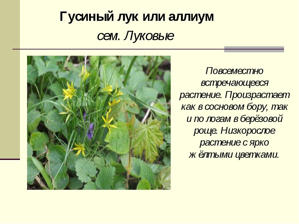 Гусиный лук или аллиум сем. Луковые Повсеместно встречающееся растение. Произ...