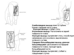 Икроножная мышца: Расположена на задней поверхности голени Функция мышцы:вып