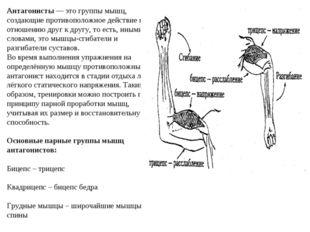 Антагонисты — это группы мышц, создающие противоположное действие по отношени