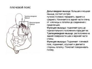 Дельтовидная мышца:большая имощная мышца, состоит из трех пучков (головок)
