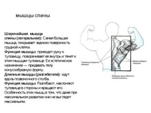 Широчайшая мышца спины(латеральная):Самая большая мышца, покрывает заднюю
