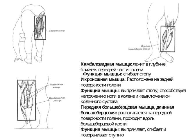 Икроножная мышца: Расположена на задней поверхности голени Функция мышцы:вып...