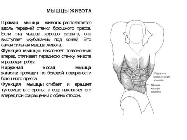 МЫШЦЫ ЖИВОТА Прямая мышца живота:располагается вдоль передней стенки брюшног...