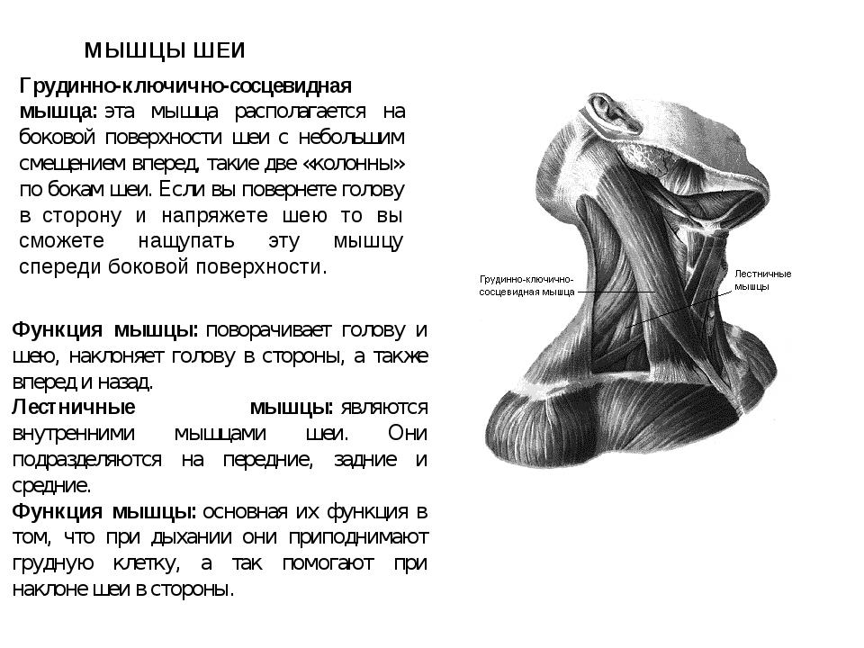 МЫШЦЫ ШЕИ Функция мышцы:поворачивает голову и шею, наклоняет голову в сторон...