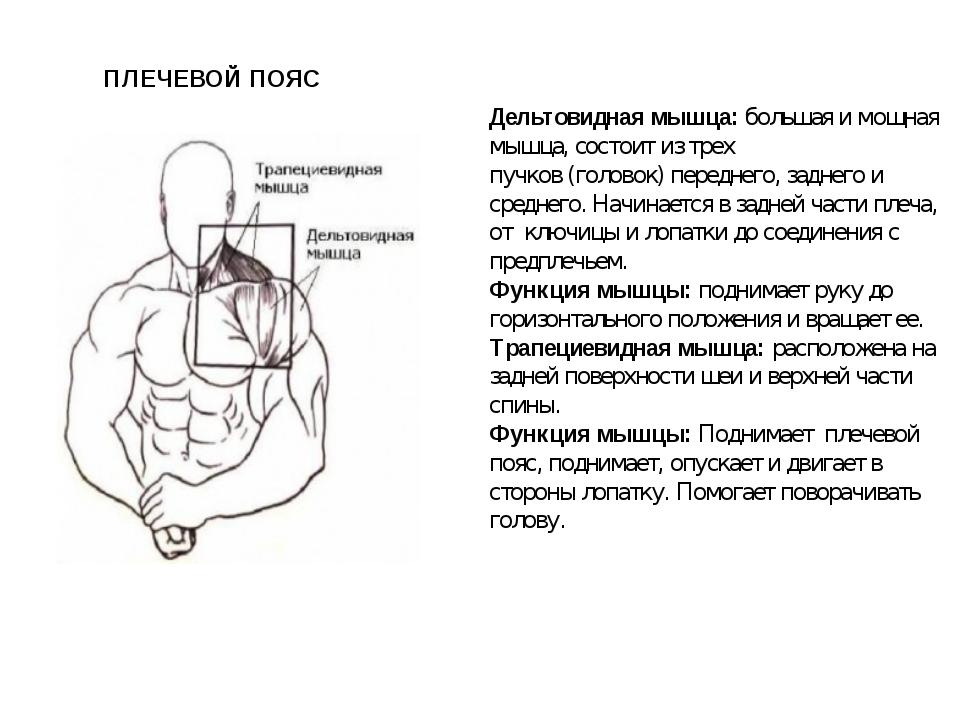 Дельтовидная мышца:большая имощная мышца, состоит из трех пучков (головок)...