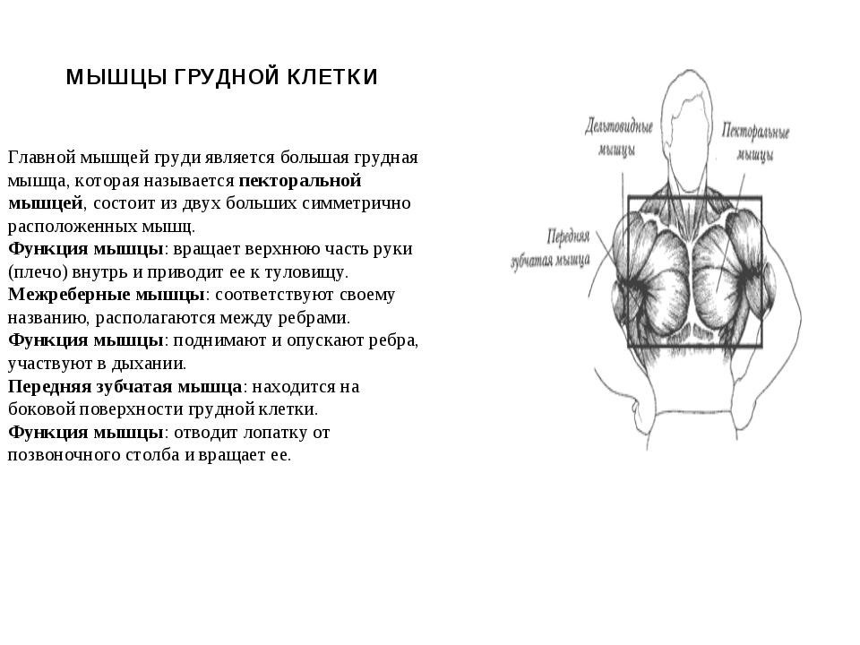 МЫШЦЫ ГРУДНОЙ КЛЕТКИ Главной мышцей груди является большая грудная мышца, кот...