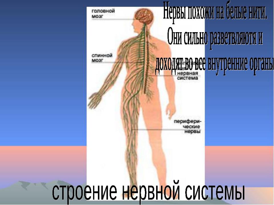 нервная система человека реферат картинки как профессиональные