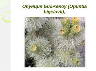 Опунция Биджелоу (Opuntia bigelovii),