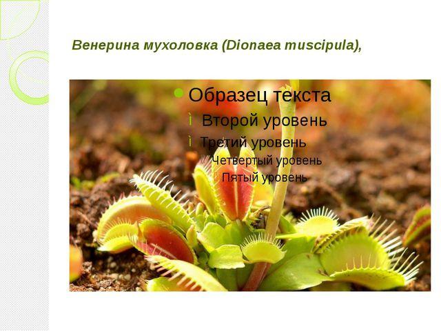 Венерина мухоловка (Dionaea muscipula),