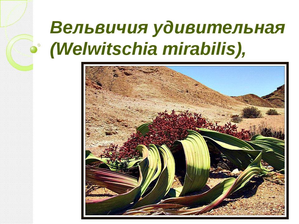 Вельвичия удивительная (Welwitschia mirabilis),