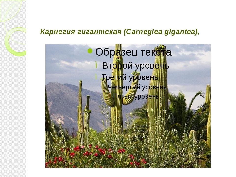 Карнегия гигантская (Carnegiea gigantea),