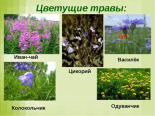 Цветущие травы: Иван-чай Василёк Цикорий Колокольчик Одуванчик