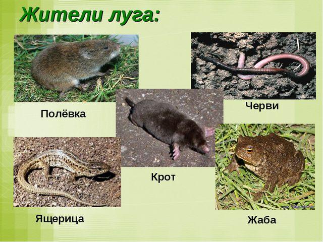 Жители луга: Полёвка Черви Крот Жаба Ящерица