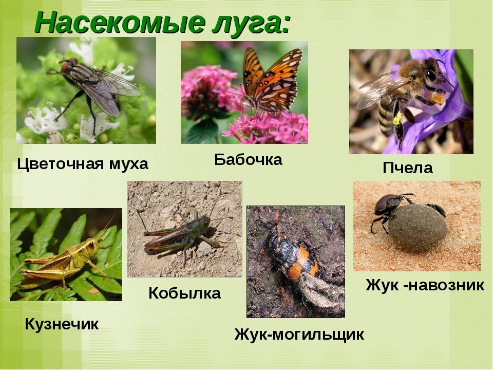 Насекомые луга: Жук -навозник Пчела Кобылка Жук-могильщик Кузнечик Цветочная...