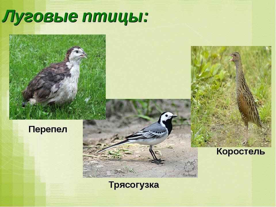 Луговые птицы: Перепел Коростель Трясогузка