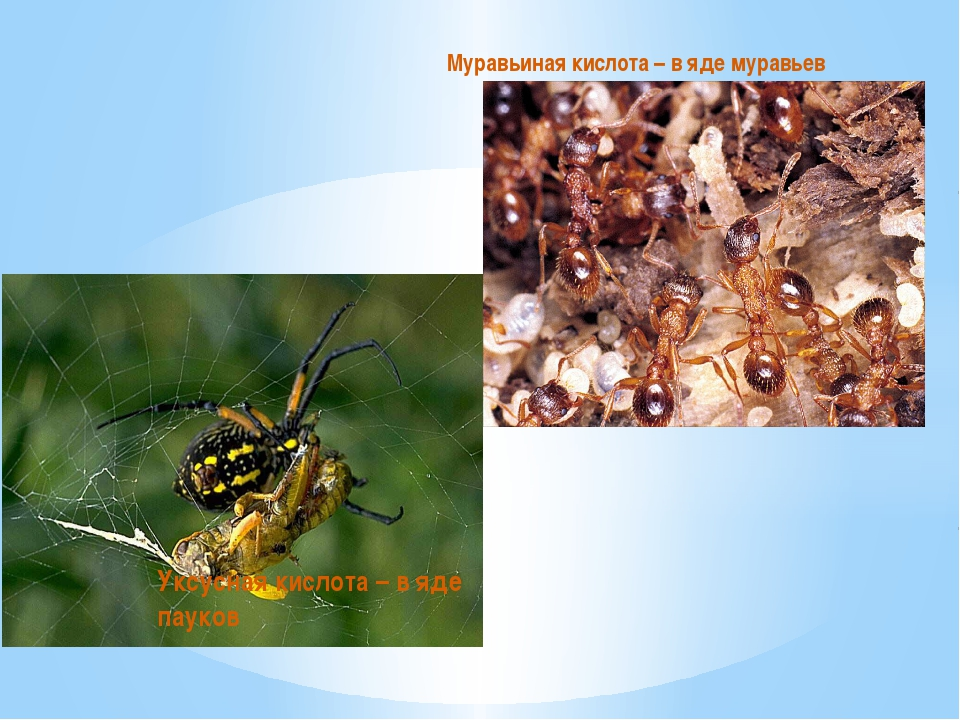 Муравьиная кислота – в яде муравьев Уксусная кислота – в яде пауков
