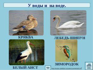 У воды и на воде. КРЯКВА ЛЕБЕДЬ-ШИПУН БЕЛЫЙ АИСТ ЗИМОРОДОК http://vision.ramb