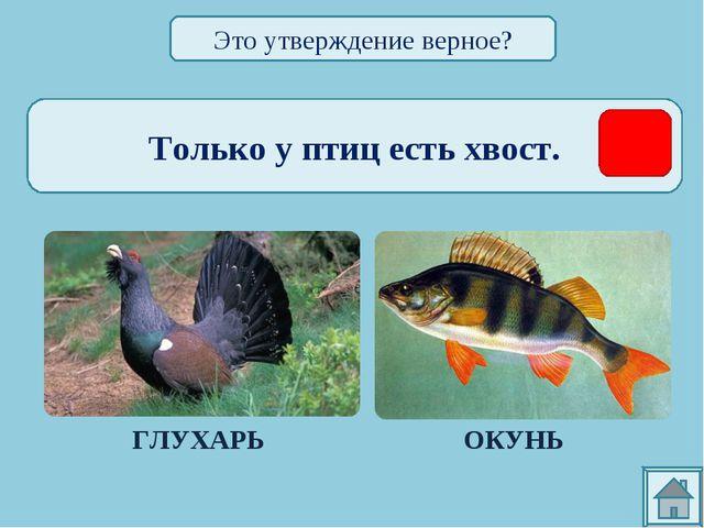 Только у птиц есть хвост. ГЛУХАРЬ ОКУНЬ Это утверждение верное?