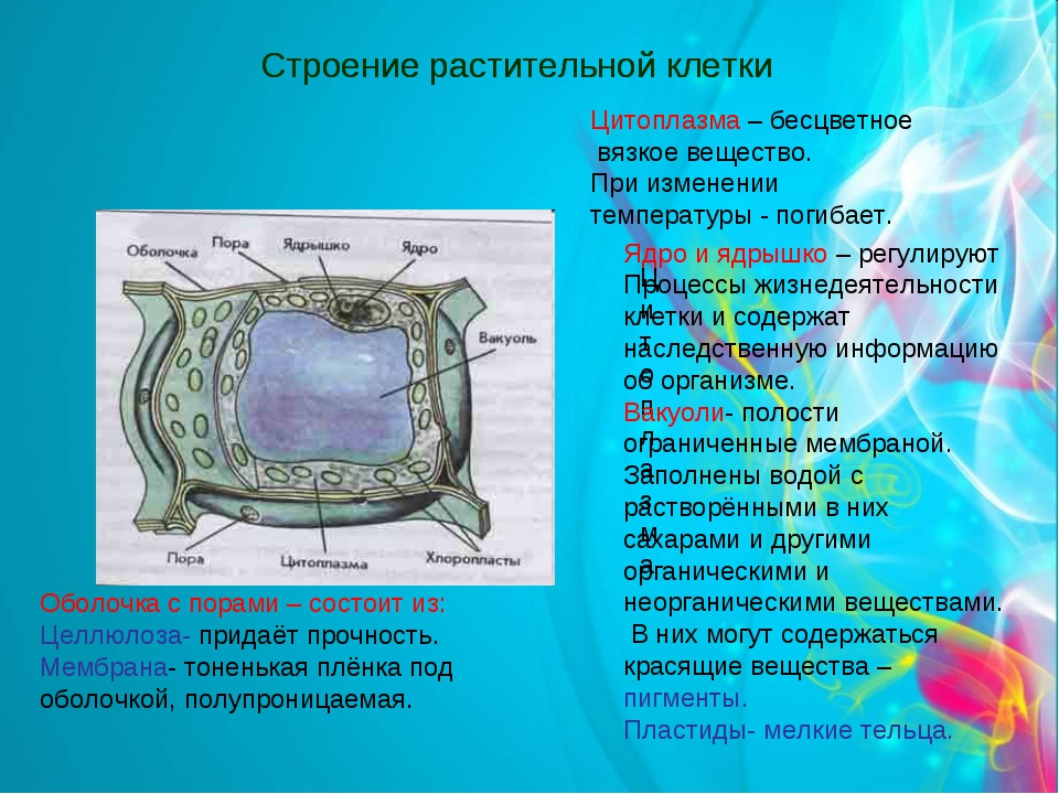 Строение растительной клетки Оболочка с порами – состоит из: Целлюлоза- прида...