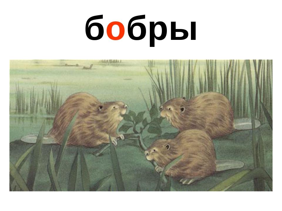 бобры