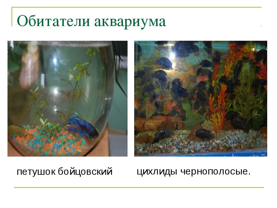 Обитатели аквариума петушок бойцовский цихлиды чернополосые.