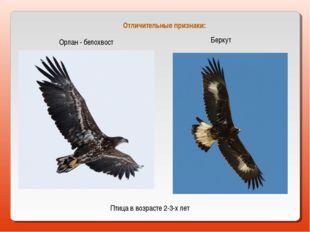 Орлан - белохвост Беркут Птица в возрасте 2-3-х лет Отличительные признаки: