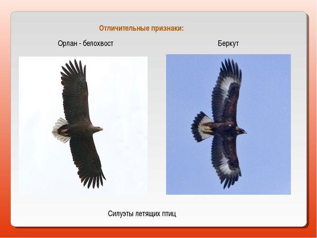 Орлан - белохвост Беркут Силуэты летящих птиц Отличительные признаки: