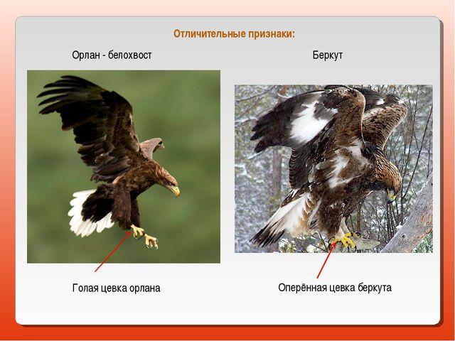 Орлан - белохвост Беркут Голая цевка орлана Оперённая цевка беркута Отличител...