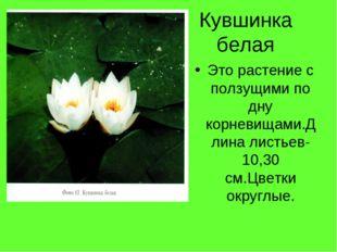 Кувшинка белая Это растение с ползущими по дну корневищами.Длина листьев-10,3