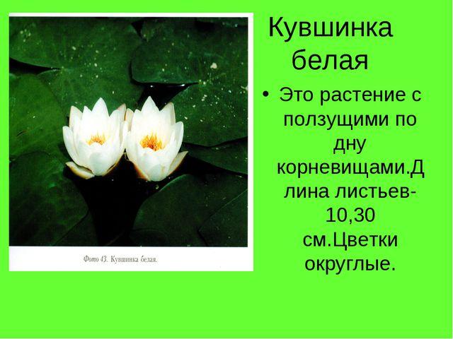 Кувшинка белая Это растение с ползущими по дну корневищами.Длина листьев-10,3...