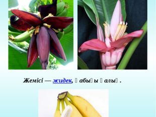 Банан ағашының гүлі мен жемісі Гүлі дара және қос жынысты Жемісі —жидек, қаб