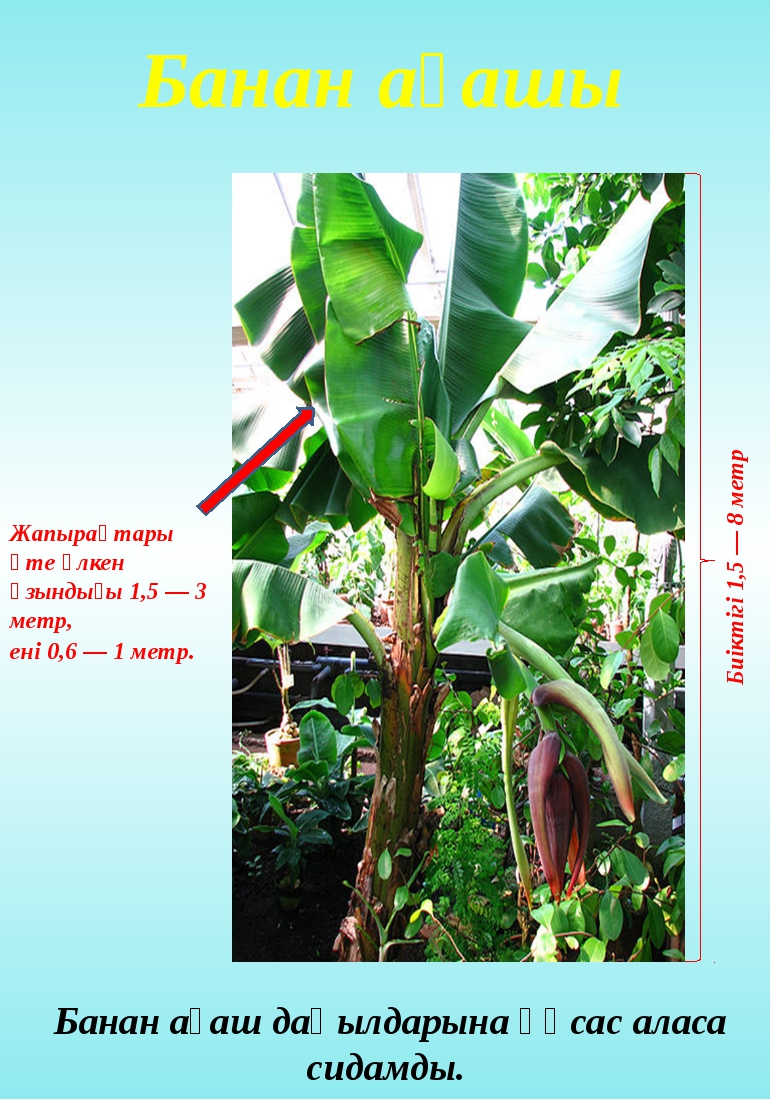 Банан ағашы Банан ағаш дақылдарына ұқсас аласа сидамды. Биіктігі 1,5 — 8 метр...