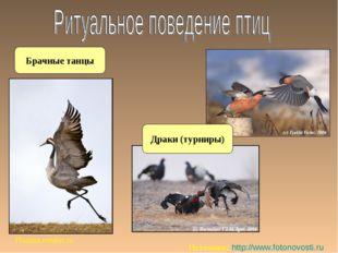 Брачные танцы Planeta.remler.ru Источник: http://www.fotonovosti.ru Драки (ту