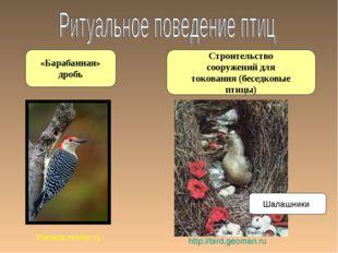 Строительство сооружений для токования (беседковые птицы) «Барабанная» дробь