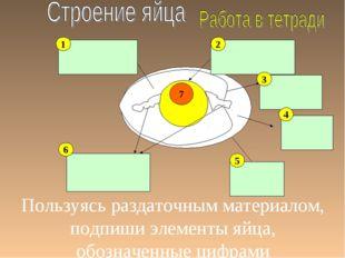 Пользуясь раздаточным материалом, подпиши элементы яйца, обозначенные цифрами