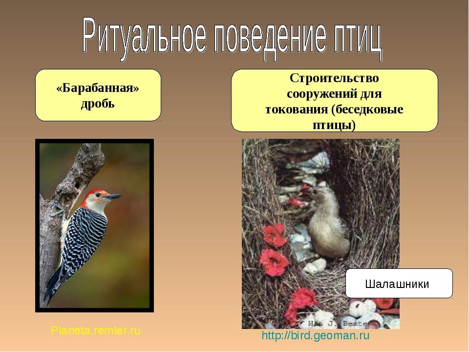 Строительство сооружений для токования (беседковые птицы) «Барабанная» дробь...