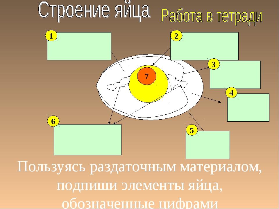 Пользуясь раздаточным материалом, подпиши элементы яйца, обозначенные цифрами...