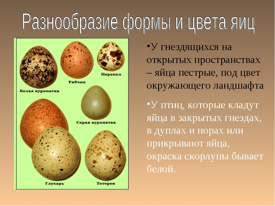 У гнездящихся на открытых пространствах – яйца пестрые, под цвет окружающего...
