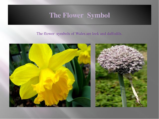 The Flower Symbol The flower symbols of Wales are leek and daffodils.