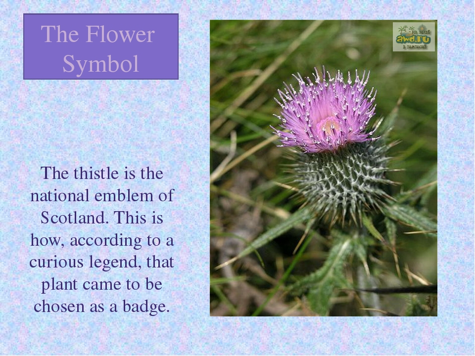 The Flower Symbol The thistle is the national emblem of Scotland. This is how...