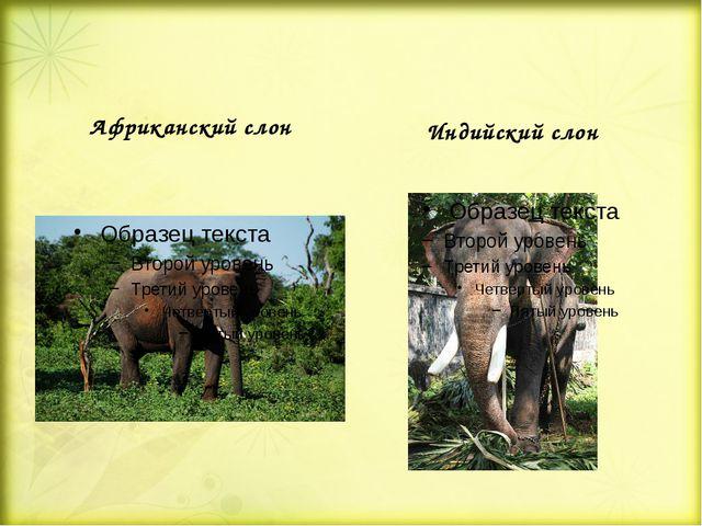 Африканский слон Индийский слон