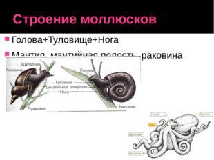 Строение моллюсков Голова+Туловище+Нога Мантия, мантийная полость, раковина