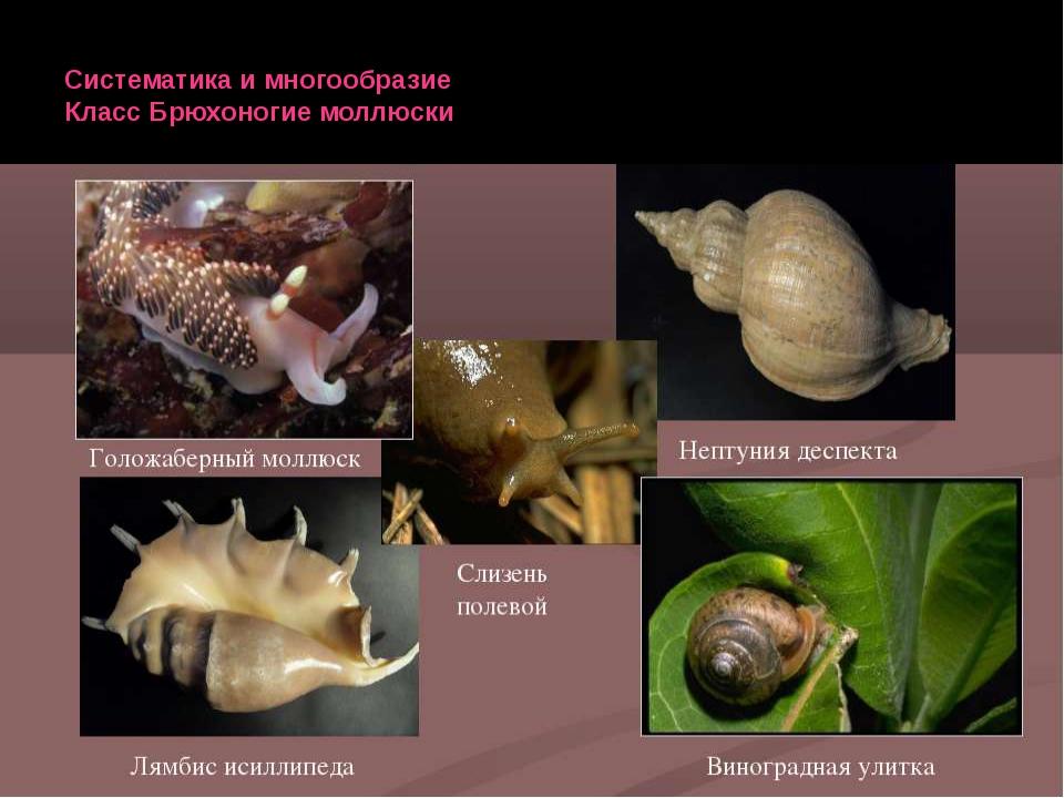Систематика и многообразие Класс Брюхоногие моллюски