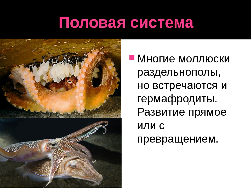 Половая система Многие моллюски раздельнополы, но встречаются и гермафродиты....
