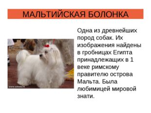 МАЛЬТИЙСКАЯ БОЛОНКА Одна из древнейших пород собак. Их изображения найдены в