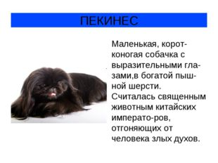 ПЕКИНЕС Маленькая, корот-коногая собачка с выразительными гла-зами,в богатой